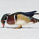 Grazing Wood Duck by Daniel  Parent