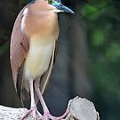 Nankeen Night Heron - Singapore (4) by Ralph de Zilva