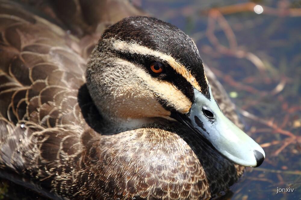 """""""Duck"""" by jonxiv"""