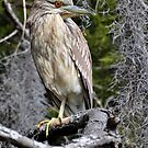 Immature Black Crowned Night Heron & Spanish Moss by Kathy Baccari
