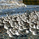 Sanderlings at Rossal Point  by Lilian Marshall