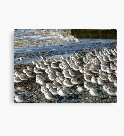 Sanderlings at Rossal Point  Canvas Print