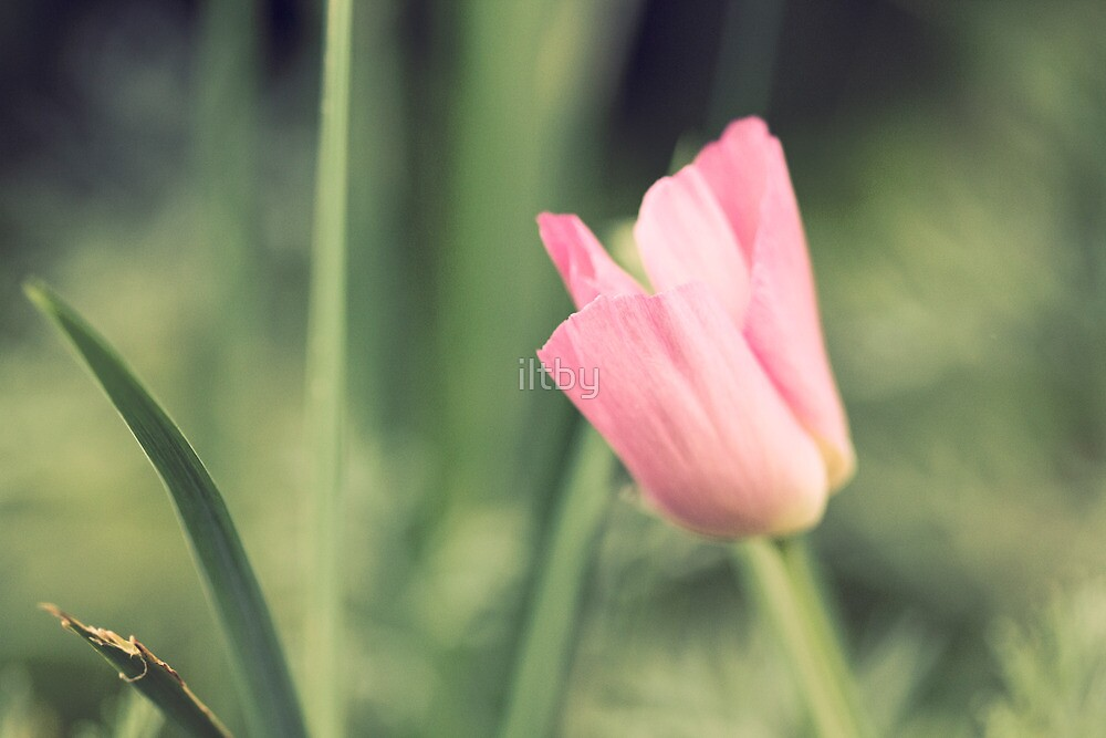 Subdued Poppy by iltby