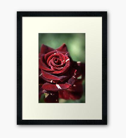 Blood Rose Framed Print