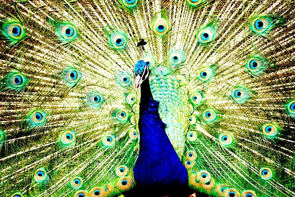 Peacock parade by Linda Hoey