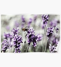 Bee in Lavender Poster