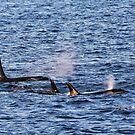 Three Orcas at Georgina Point by TerrillWelch