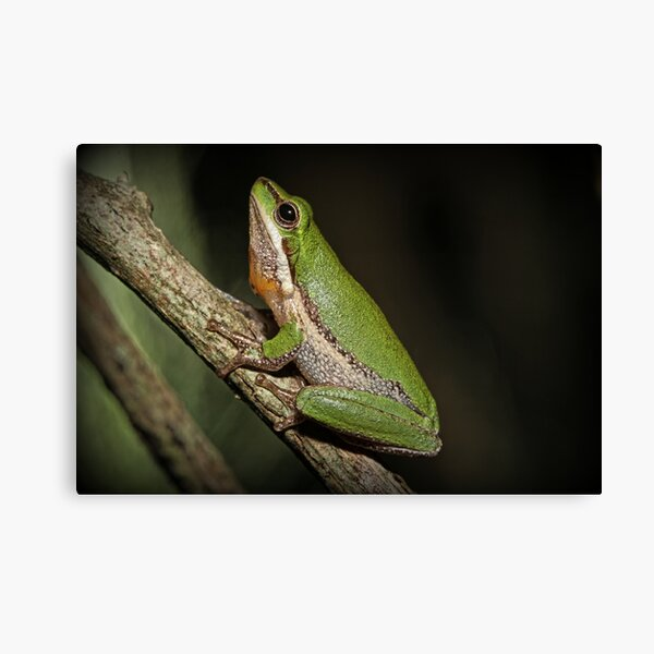 Frog on Branch Canvas Print
