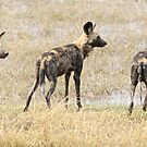 Three wild dogs by Anthony Brewer
