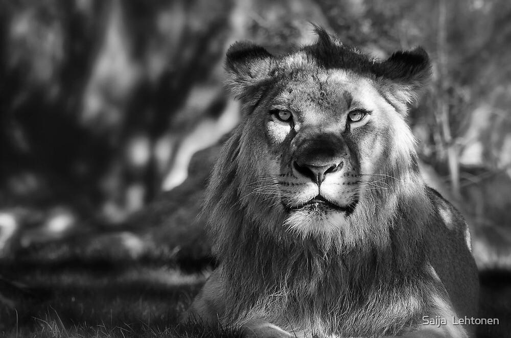 African Lion in Black and White  by Saija  Lehtonen