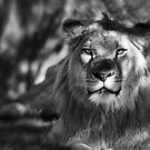 African Lion in Black and White  by Saija  Lehtonen