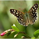 Speckeld wood butterfly on Escallonia by Rivendell7