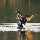 Mallard splash by Ben  Warren