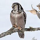 The Pensive Northern Hawk Owl by DigitallyStill