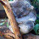 Koalaty Time by Carol Barona