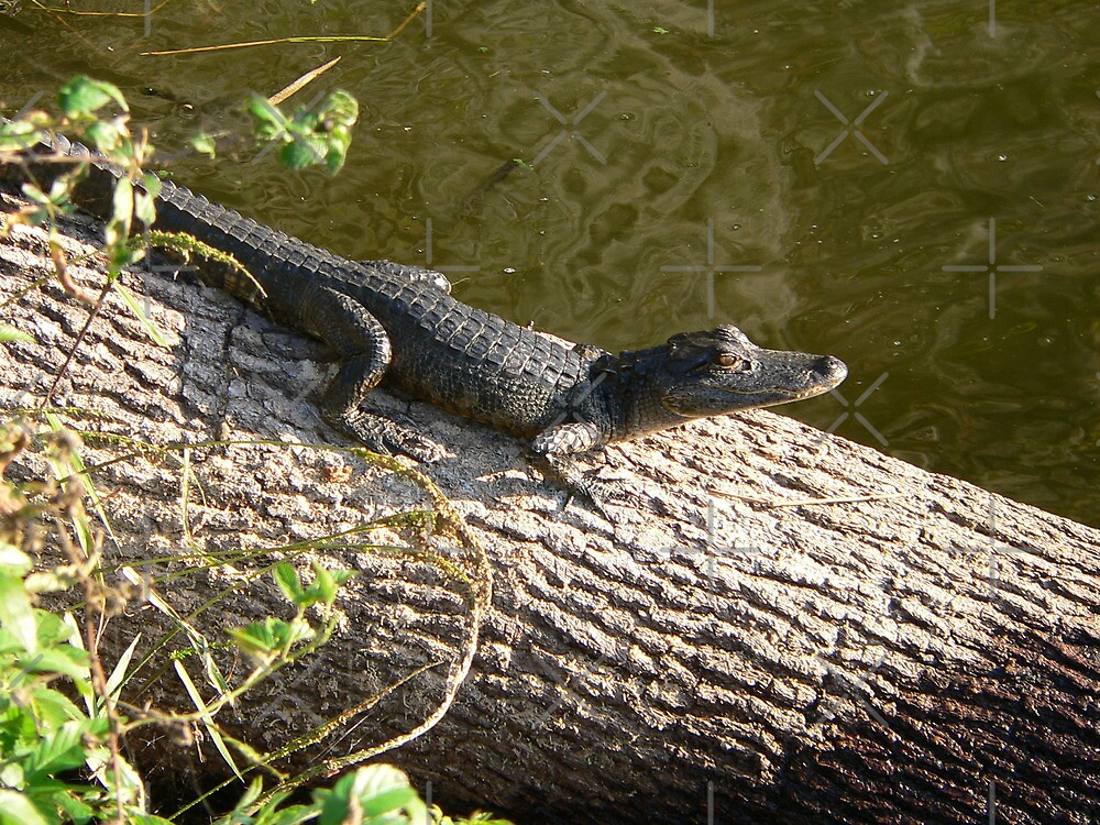 Little Baby Gator by kevint