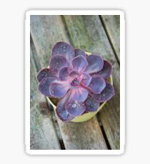 Succulent - Purple Echeveria  Sticker