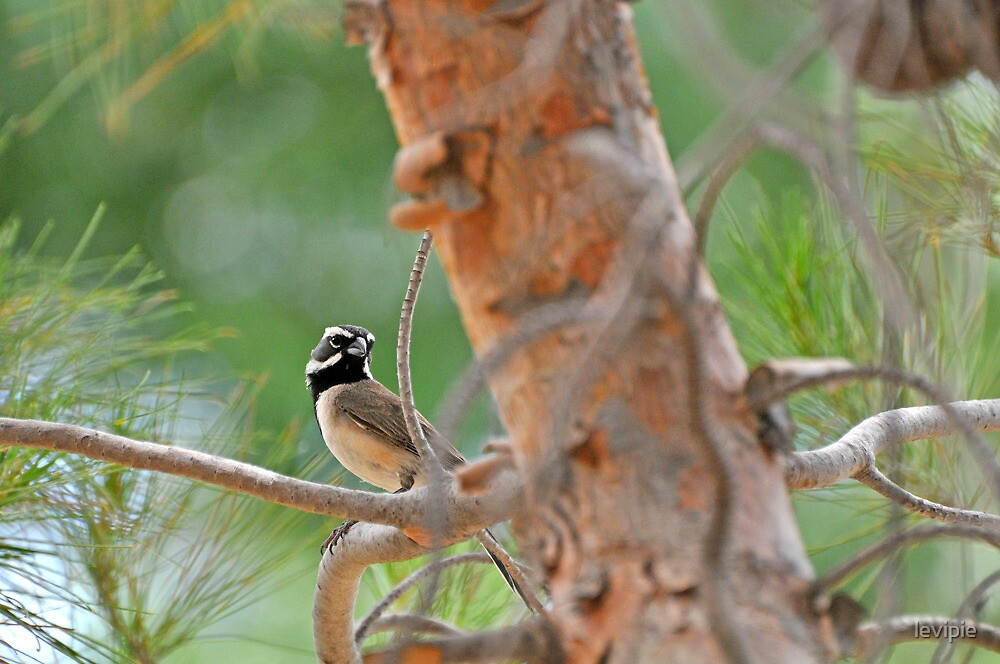 Black Throated Sparrow in the woods by levipie