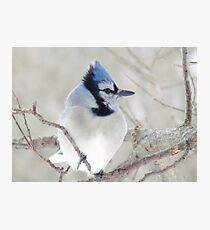 Blue Jay Profile Photographic Print