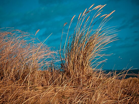 Dune grasses blowing in the wind by David Hall
