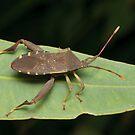 Sheild Bug - Amorbus sp. by Andrew Trevor-Jones