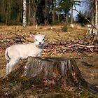 Mary's Little Lamb by Jo Nijenhuis