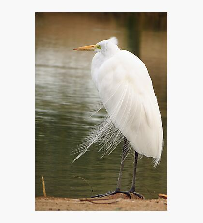 Great  White Egret (Breeding) Photographic Print