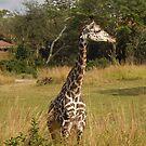 safari jungle by kristal ingersoll