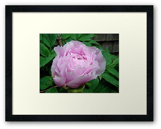 Pink Tree Peony Blossom by MotherNature
