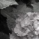 Hydranga In The Rain by Jane Neill-Hancock
