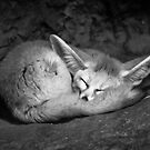 Fennec Fox by SD Smart