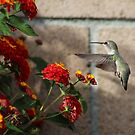 Anna Hummingbird hovers near the Lantana Plant........ by DonnaMoore