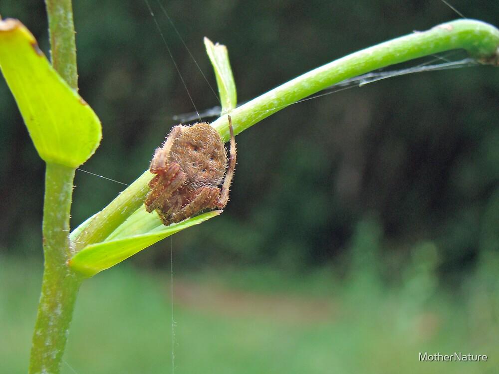 Marbled Orb Weaver Spider - Genus Araneus by MotherNature