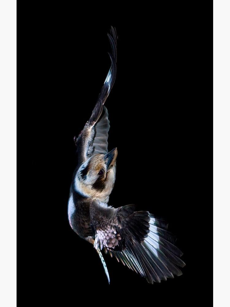 Kookaburra in flight by TonySlattery