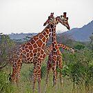 Necking - Giraffes by tracyleephoto