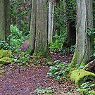 Through the Cedar Trees  by TerrillWelch