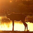 Sunset Kudu by Donald  Mavor
