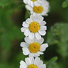 DAISIES AND LADYBIRD by Helen Akerstrom Photography
