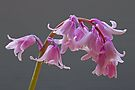 Pink Hybrid Bluebell Flowers by David Pringle