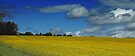 Rapeseed Field in Northumberland by David Pringle