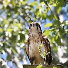 Hawk Up High by Michelle Munday
