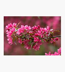 Blooming Apple Trees Photographic Print