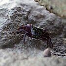 Tiny Crab by Stephen Monro