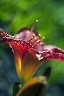 Red Day Lily in a Garden by William Martin