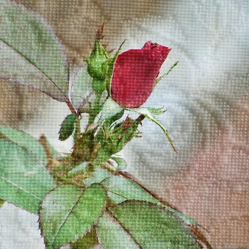 A Single Textured Rose   by vigor