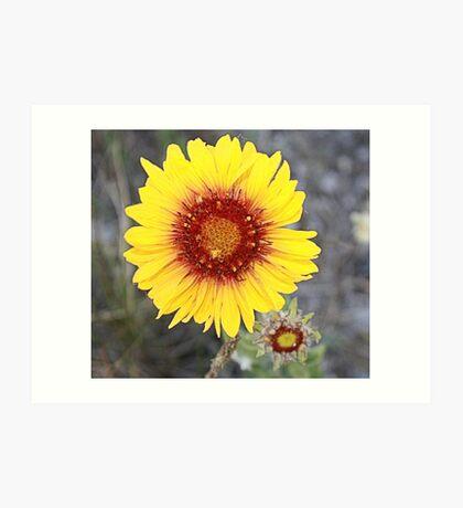 Blanket Flower (Gaillardia pulchella) Art Print