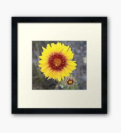 Blanket Flower (Gaillardia pulchella) Framed Print
