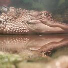 Baby Alligator Reflecting... by Angela Lance