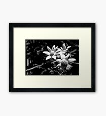 North Head Manly - Flannel Flower Framed Print