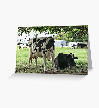 Moo at Jamberoo Greeting Card